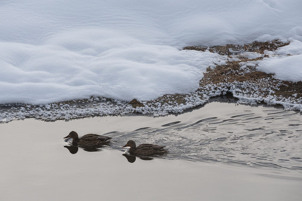Ducks moving along a stream in a Yellowstone meadow.