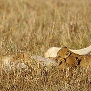 Lion, (Panthera leo) Lioness nursing cubs on plains. Masai Mara Game Reserve. Kenya. Africa.