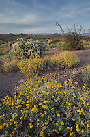 Sonoran desert featuring Brittlebush (Encelia farinosa) Ocotillo (Fouquieria splendens) and Jumping Cholla (Cylindropuntia fulgida), Superstition Mountains, Arizona