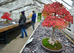 © Licensed to London News Pictures. 21/10/2012. Kew, UK (foreground) A Trident Maple starts to turn fem green to red.  This fast growing maple builds thick trunks more easily than just about any other species of bonsai,  Autumn leaves on Bonsai trees in Kew Gardens in Surrey today 21 October 2012. Photo credit : Stephen Simpson/LNP