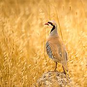 Chukar Partridge or Chukar (Alectoris chukar) Photographed in Israel in June