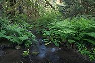 Lady Ferns (Athyrium filix-femina), Western Skunk Cabbage (Lysichiton americanus) and Salmonberries (Rubus spectabilis) growing along Duck Creek.  Photographed at Duck Creek Park on Salt Spring Island, British Columbia, Canada.