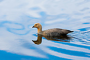 A female upland goose,<br /> Chloephaga picta, on a lake.