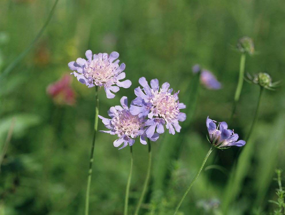 SMALL SCABIOUS Scabiosa columbaria (Dipsacaceae) Height to 65cm. Upright and branching perennial of calcareous grassland. FLOWERS are bluish-violet, and borne in compact heads, 2-3cm across, outer flowers larger than inner ones (Jun-Sep). FRUITS are dry and papery. LEAVES comprise pinnately lobed basal leaves in a rosette, and narrow-lobed stem leaves.
