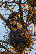 A great blue heron (Ardea herodias) feeds the young chicks on its nest in a heron rookery in Kenmore, Washington.