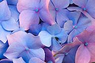 pink and blue Nikko Blue Hydrangea (Hydrangea macrophylla) macro