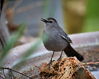 Gray Catbird. Image taken with a Nikon D5 camera and 600 mm f/4 VR telephoto lens (ISO 1100, 600 mm, f/5.6, 1/1250 sec).