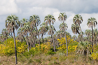 PARQUE NACIONAL EL PALMAR, PALMERAS YATAY (Syagrus yatay), Y ESPECIES NO AUTOCTONAS (ARBOLES PARAISO, Melia azedarach), PROV. DE ENTRE RIOS, ARGENTINA