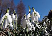 Nederland, Ubbergen, 18-3-2013Sneeuwklokjes luiden de lente in. De sneeuwklokjes staan in groepjes. Het gewoon sneeuwklokje, Galanthus nivalis, is een maximaal 25 cm hoog bolgewas uit de narcisfamilie, Amaryllidaceae.Foto: Flip Franssen/Hollandse Hoogte