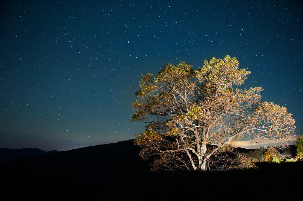 An autumn tinged chestnut tree is illuminated by headlights under a starry sky in the early morning hours of Saturday, October 18, 2014 in Shenandoah National Park. Taking a night drive along the famed road inside the park Skyline Drive is a good way to beat the normal crowd and enjoy a pristine sunrise.