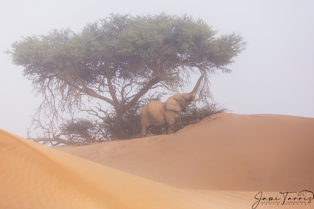 A desert-dwelling elephant bull (Loxodonta africana) extending trunk to reach while eating from a tree in a sand dune on a foggy morning, Skeleton Coast, Namibia, Africa