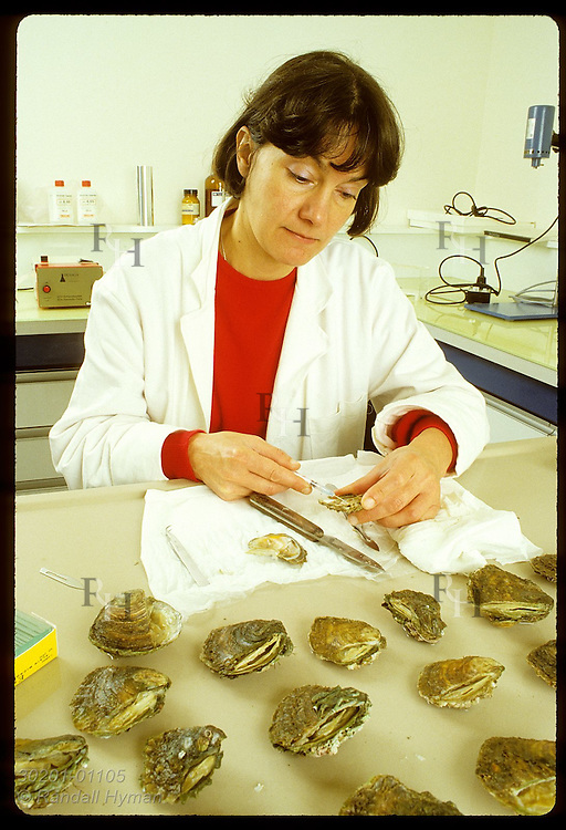 Biologist Dominique Chagot -IFREMER-injects European flat oysters w/ Bonamia to find resistant one France