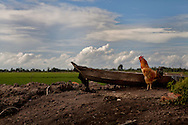 A rooster in front of a tiny wooden boat with countryside surrounding. Tay Ninh Province, Vietnam, Asia.