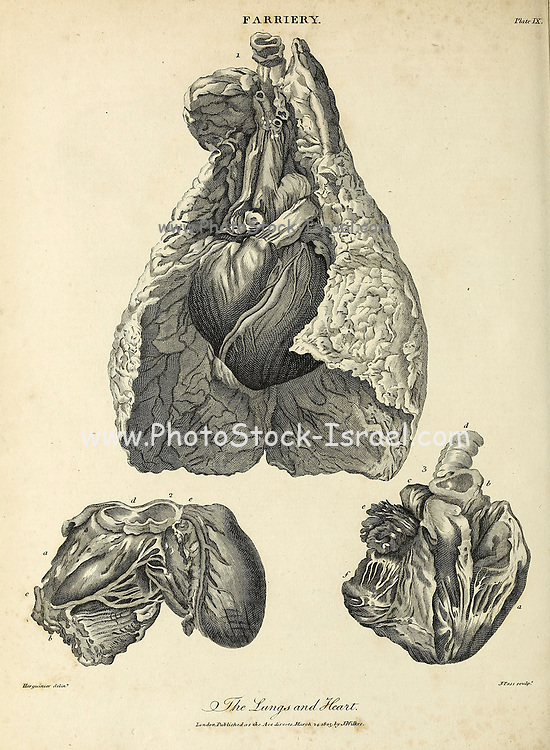Horse's lungs and heart Copperplate engraving From the Encyclopaedia Londinensis or, Universal dictionary of arts, sciences, and literature; Volume VII;  Edited by Wilkes, John. Published in London in 1810