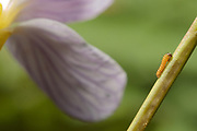 Orange tip larva (Anthocharis cardamines) first instar on cuckoo flower (Cardamine pratensis). Surrey, UK.