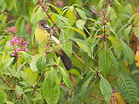 Female lemon-rumped tanager, Ramphocelus icteronotus, feeding on berries in Tandayapa Valley, Ecuador
