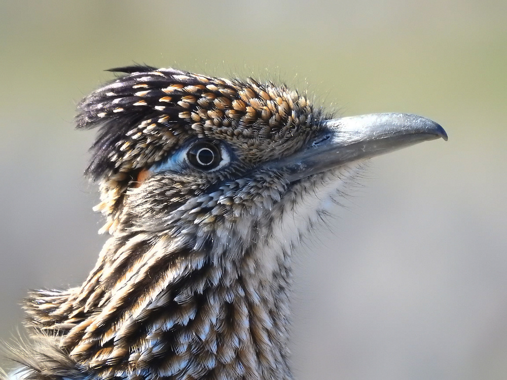 A roadrunner with its eye color showing.