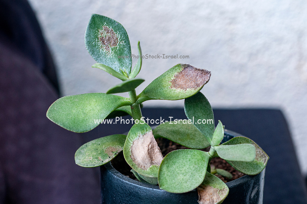 succulent leaf damaged by excessive exposure to harsh sunlight