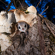 This is a Japanese dwarf flying squirrel (Pteromys volans orii), a sub-species of Siberian flying squirrel, emerging from its nest at dusk to set out for a night of foraging. Known locally as ezo-momonga, this sub-species is found only in Hokkaido, Japan. It is primarily nocturnal. Mature females measure up to 15cm, males up to 18cm (not including tail). These animals weigh up to 120g and are capable of gliding considerable distances. During flight, they use their patagia (membranes of skin between their forelimbs and hind limbs) and tails (10-12cm) to achieve lift, directional control and maneuvering capability. One study in Japan recorded a maximum glide distance exceeding 49m, though most flights fell into the 10m to 20m range.