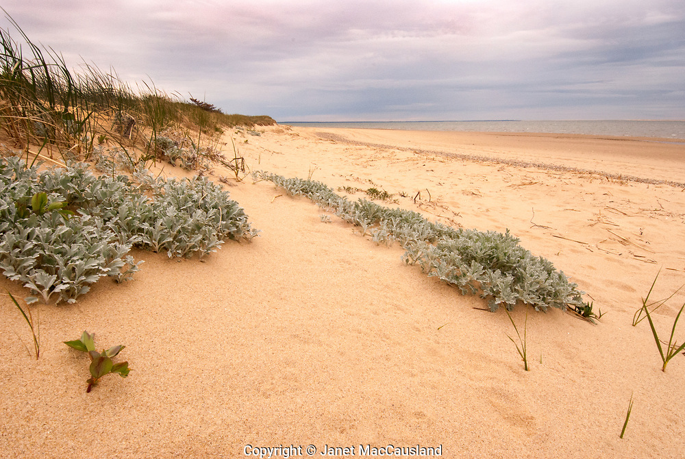 Muted pastels soften the rain shower on this Dusty Miller growing in the dunes of a Wellfleet Beach, Cape Cod.<br /> <br /> This image illustrates split complimentary colors on the color wheel: yellow, light violet and blue-green.