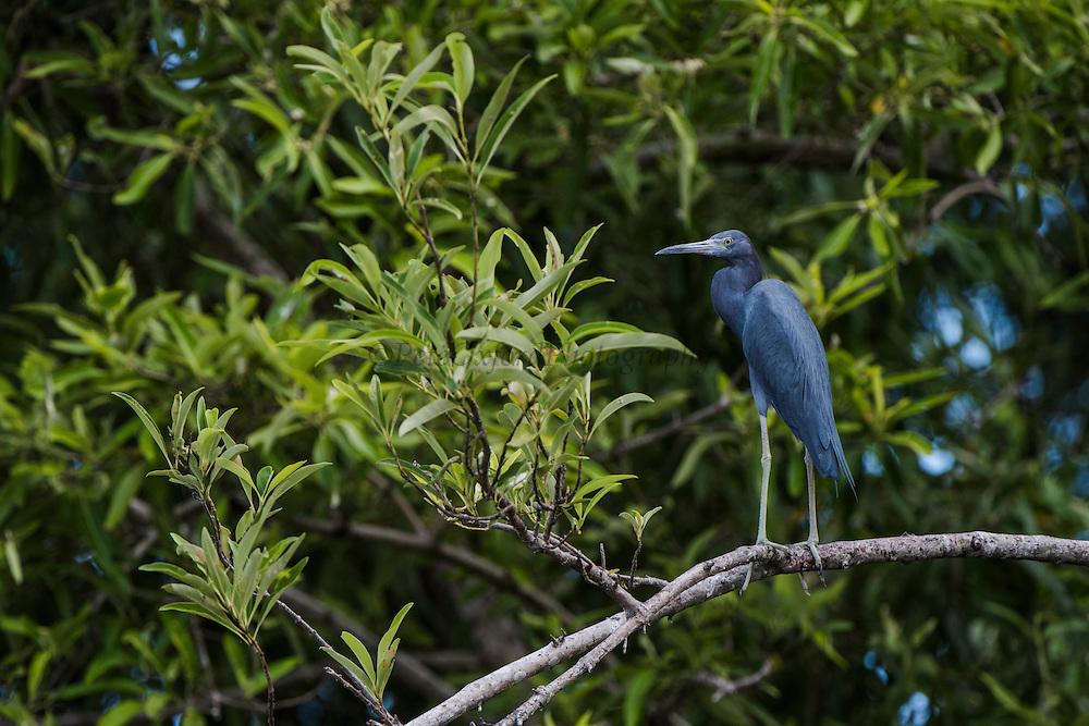 Little Blue Heron (Egretta caerulea)<br /> Mahaica River<br /> GUYANA<br /> South America