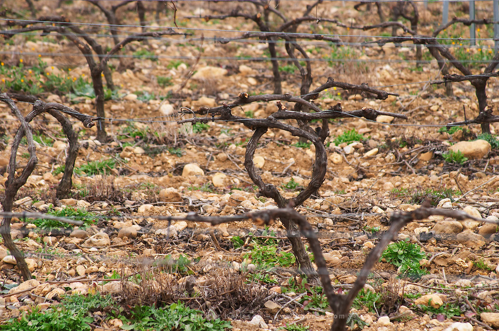 Domaine Le Nouveau Monde. Terrasses de Beziers. Languedoc. Vines trained in Cordon royat pruning. Terroir soil. In the vineyard. France. Europe.