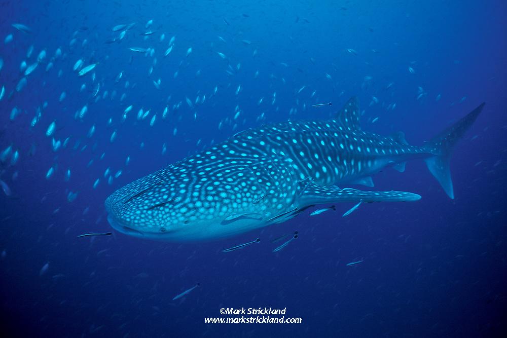 Whale Shark, Rhincodon typus, accompanied by small cobia, Rachycentron canadum, Remoras, Echeneis naucrates, and small jacks. Richelieu Rock, Andaman Sea, Thailand.