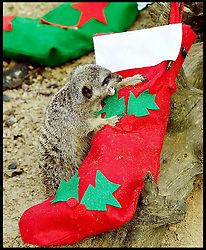 A meerkat growls at a Christmas stocking which it can't open.The stockings are given to the Meerkats  before Santa  comes  flying into the Zoo on Saturday (November 23) to take up his annual residence in the fairytale grotto, as Whipsnade's magical Meet Santa experience Thursday, 21st November 2013. Picture by Max Nash / i-Images
