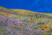 Lupines, California poppies (Eschscholzia californica) and fence in the Tehachapi Mountains, Angeles National Forest, California