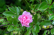 """The Polyantha Rose """"The Fairy"""" blooming"""