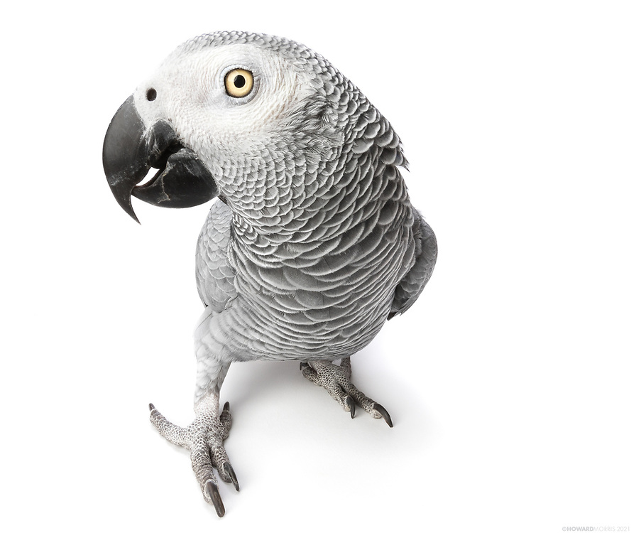 Babu, Congo African Grey (Psittacus erithacus). A most dignified parrot with a dry sense of humor, Babu takes great pride in training humans to imitate his plethora of sounds.