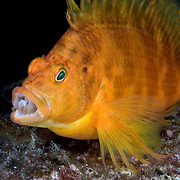 Yellow or Golden Hawkfish (Cirrhitichthys aureus) with its mouth open. Photographed at the Izu Peninsula in Japan.