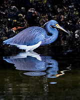 Tricolored Heron (Egretta tricolor). Weedon Island. Pinellas County, Florida. Image taken with a Nikon D300 camera and 80-400 mm VR lens.