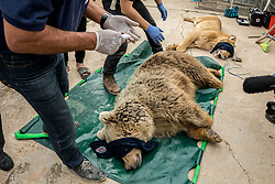 March 30, 2017 - Mosul, Nineveh Province, Iraq - LULA, A Syrian Brown Bear is examined by Veterinarians from Four Paws International. A lion and a bear, just rescued from Mosul's zoo, are prepared to fly to safety outside Iraq and into Erbil, Kurdistan. The two animals nearly starved to death in their cages while battle raged around them in the Iraqi city earlier this year. Several other animals at the zoo died from neglect but these two were finally rescued by the animal charity Four Paws. (Credit Image: © Gabriel Romero via ZUMA Wire)