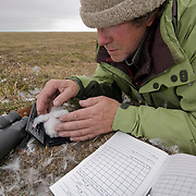 Denver Holt checking a snowy owl (Bubo scandiacus) nest on the north slope in Alaska.