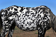 mid section of a black spotted white horse against a blue sky