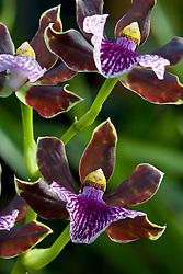 Zygopetalum orchid - Zygopetalum 'Alan Greatwood'