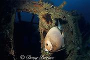 gray angelfish, Pomacanthus arcuatus, on wreck of the Orion, Miami, Florida, USA ( Western Atlantic Ocean )