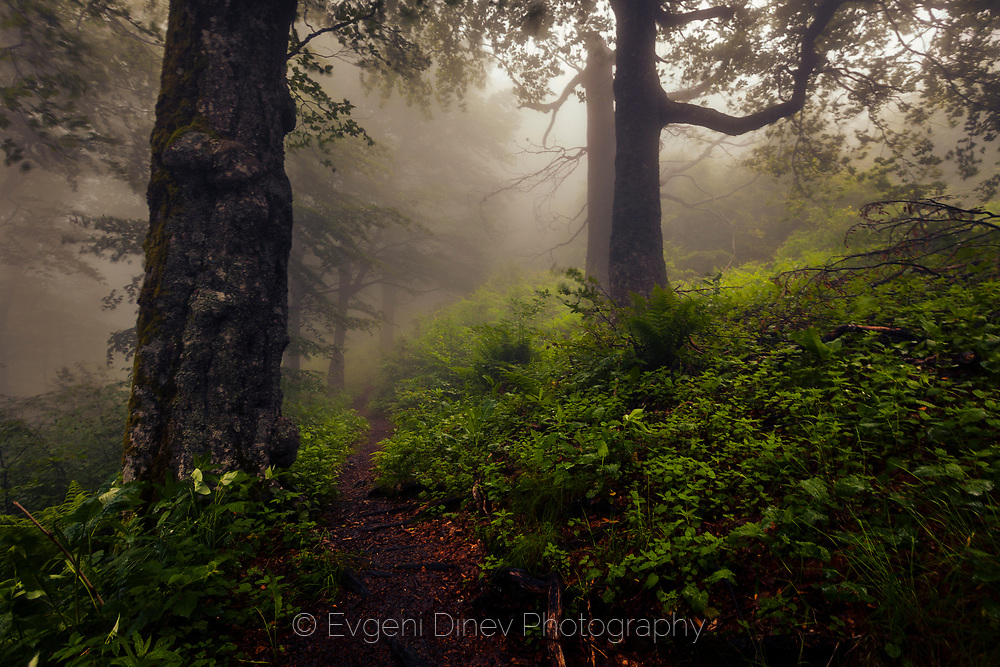 Foggy old beech forest in springtime