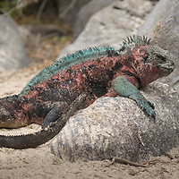 Amblyrhynchus cristatus, Española Island, Galapagos