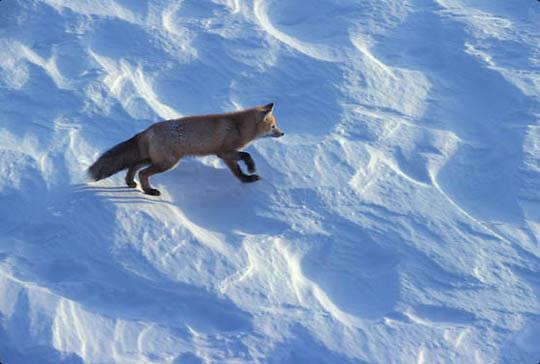 Red Fox, (Vulpus fulva) Churchill, Manitoba. Canada.