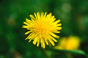 ADFTMF Dandelion yellow flower