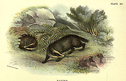 The European badger (Meles meles here as Meles taxus) From the book ' A hand-book to the British mammalia ' by  Richard Lydekker, 1849-1915  Published in London, by Edward Lloyd in 1896