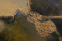 Tahirpur, Bangladesh - 06 December 2019: Aerial view of a fisherman standing on a canoe following a flock of ducks along Baulai river in Sylhet state, Bangladesh.