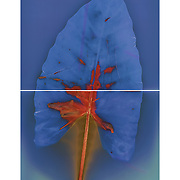 """Lumen Print of tropical leaf, 32""""h x 20""""w, original made on two sheets of 16""""x20"""" Arista Classic FB paper"""
