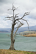 Dying Tree on the shores of Lake Eucumbene, near the Snowy Mountains in Eastern Australia. The ongoing drought has seen it reach record low levels