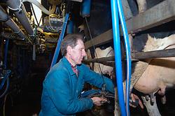 Dairy farmer milking cows using milking machine on farm Yorkshire UK
