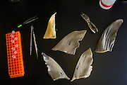 A small collection of shark fins collected from various local Chinatowns by Stanford faculty and students at Stanford University's Hopkins Marine Station in Pacific Grove, California, on February 23, 2016. (Stan Olszewski/SOSKIphoto for Hakai Magazine)