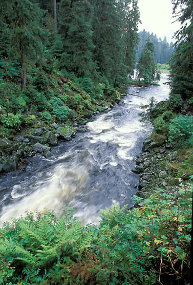 Tongass National Forest, creek flowing through forest of the Tongass. Fall.  Alaska.