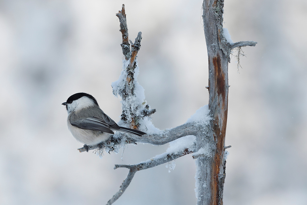 Willow tit, Parus montanus, Frost winter, minus - 30 C in the boreal Taiga forest Kalvtrask, Västerbotten, Lapland, Sweden